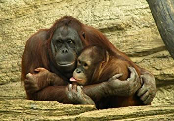Rompecabezas Rompecabezas De 1000 Piezas 2 Abrazos De Gorilas Decoración Del Hogar Para Niño Adulto 1000 Piezas: Amazon.es: Hogar