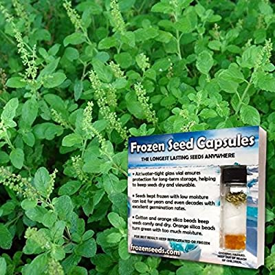 Holy Basil Tulsi Seeds 'Holy Kaprao' Basil Seed (Ocimum sanctum) 50+ Organic Rama Tulsi Medicinal Herb Seed In 'Frozen Seed Capsules' For The Gardener & Seed Collector. Use Now Or Save For Years!