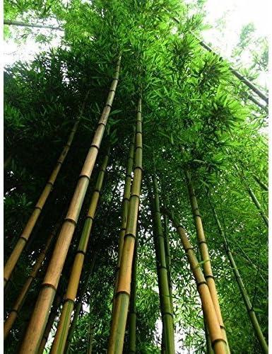 60pcs Der winterharte Gold Bambus Saat Golden Bamboo Samen