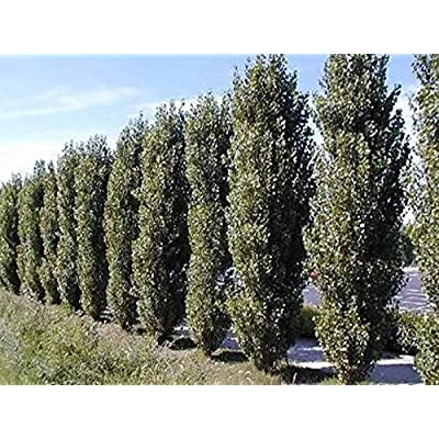 AchmadAnam - Live - 2 Lombardy Poplar Trees - 2 Plant Tree Cuttings - Rare and Unique Privacy Tree - Very Fast Growing. E16 : Garden & Outdoor