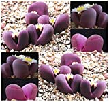 100% Genuine Lithops OPTICA - 100 Seeds - Living Stones Succulent Plant Seeds * Free Shipping