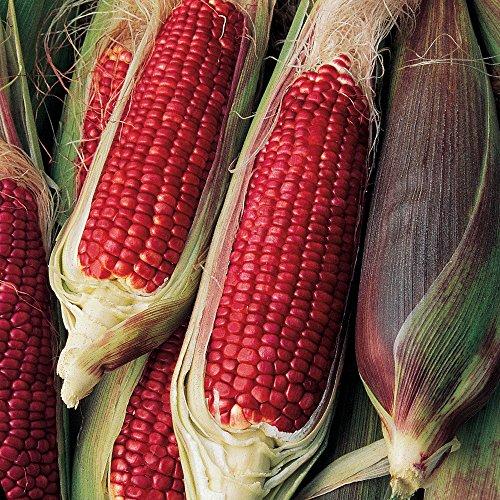 - Burpee Ruby Queen Sweet Corn Seeds 200 seeds