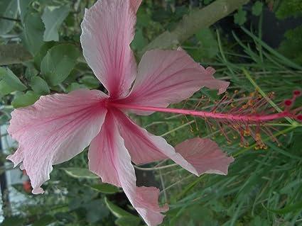Amazoncom Emeralds Tm Tropical Weeping Hibiscus Tree Plant