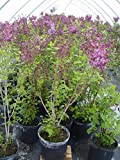 Syringa X hya. 'Pocahontas' (Lilac) Shrub, purple flowers – #3 Size Container Review