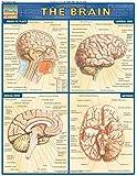 Brain (Quickstudy: Academic)