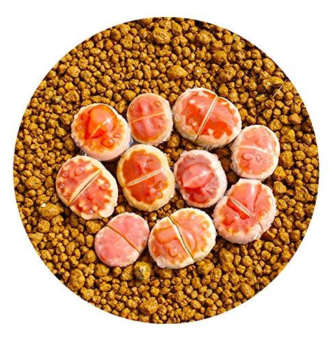 Live Exotic Lithops Karasmontana V Mickbergensis VAR Red Top 1-2 Years Old Living Stone Seedling Rare Succulent Lithops Collector Item