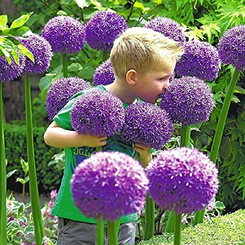 Summer Blooming Bulbs - Allium Bulbs (Giant) - Gladiator - Bag of 10, Early Summer/Deer Resistant/Purple/blue Flowers