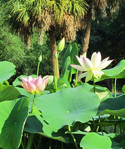 ''Beautiful Dancer'' (Pink) Oriental Lotus Live Aquatic Plant Grown in Licensed Florida Aquatics Plants Nursery by Unknown (Image #4)
