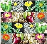 Pleiospilos Species Mix Seeds - Rare Cactus Succulent Seeds Mix - By MySeeds.Co (Pleiospilos Mix x 1 Pack)