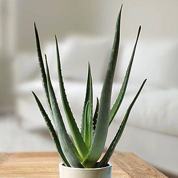 aloe vera pflanze 13cm topf 1 pflanze