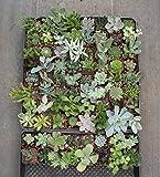 """Jiimz 20 Gorgeous Succulents in 2"""" Plastic Pots"""