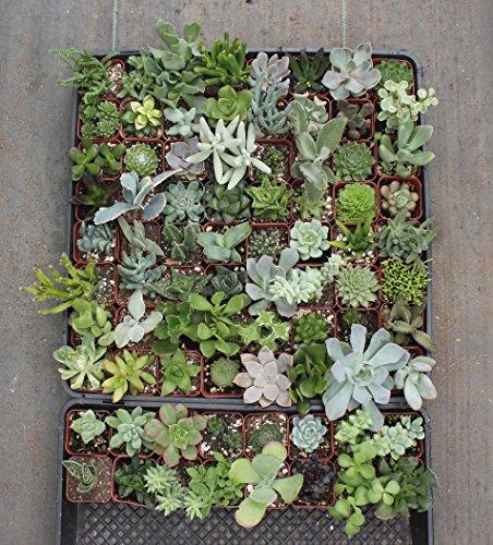 Jiimz Gorgeous Succulents Plastic Pots