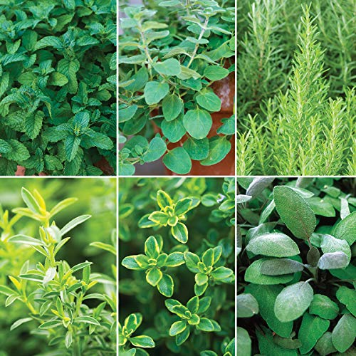 Burpee Mediterranean  Delight' Herb Collection (Spearmint, Greek Oregano, BBQ Rosemary Winter Creeping, Lemon Thyme & Purple Sage) 6 Live Plants 2 1/2