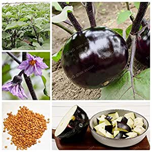 Purple Black Round Eggplant Seeds Sowing 4 Seasons Courtyard Balcony Potted Chinese Eggplant Organic Vegetables Seed 50 Seeds