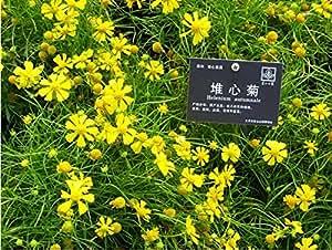 PAQUETE ORIGINAL 50 semillas de naranja sneezeweed * Helenium autumnale * PLUS GITF MISTERIOSO