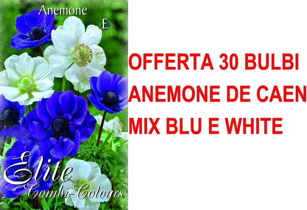 OFFERTA 90 BULBI AUTUNNALI ANEMONE DE CAEN MIX BLU E WHITE BULBS BULBES PERAGA