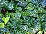 """English Ivy 8 Plants - Hardy Groundcover - Sun or Shade - 1 3/4"""" Pots"""