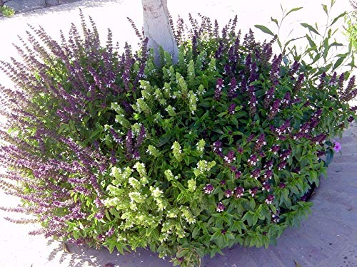 Cinnamon Basil (Ocimum Basilicum Cinnamon) Beautiful and Aromatic with its red stem, Bright Green Leaves and Purple Flowers (1 oz Pack) by ThronesFarm