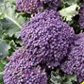 Everwilde Farms - Purple Sprouting Broccoli Seeds - Gold Vault