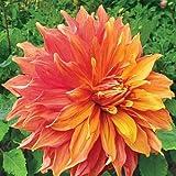 Cicitar Garden Exotic Flower Seeds Hardy Perennial Rare 20pcs Giant Dinnerplate Dahlia American Dawn Dahlia Flower Easy to Grow