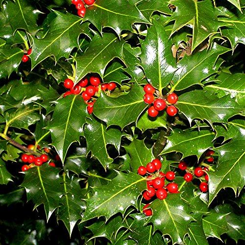 Trees Fruit Ornamental - 10 Seeds Ilex aquifolium English Holly Ornamental Fruit Tree