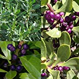Portal Cool Native Juniper 'Boobialla' (Myoporum Insulare) Seeds 'Bush Tucker Plant'