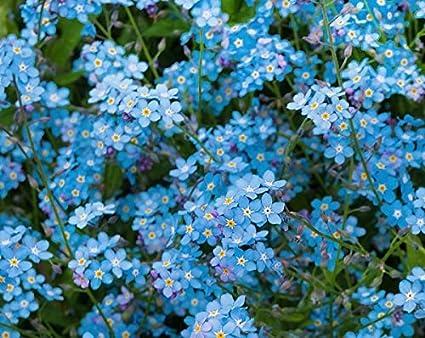Amazon 200 forget me not indigo blue flower seeds myosotis 200 forget me not indigo blue flower seeds myosotis sylvatica beautiful ground cover mightylinksfo