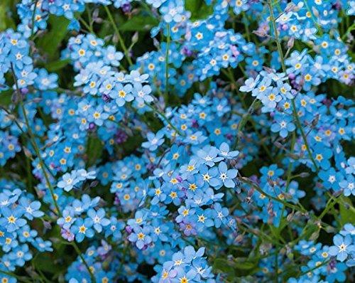200+ Forget Me Not Indigo Blue Flower Seeds, Myosotis Sylvatica, Beautiful Ground Cover Bedding, Perennial. From (Perennial Ground Cover)