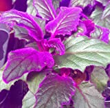 Purple Passion Plant Starter Potted Plant, Great for growing indoors.Easy to Grow and Easy to Care for
