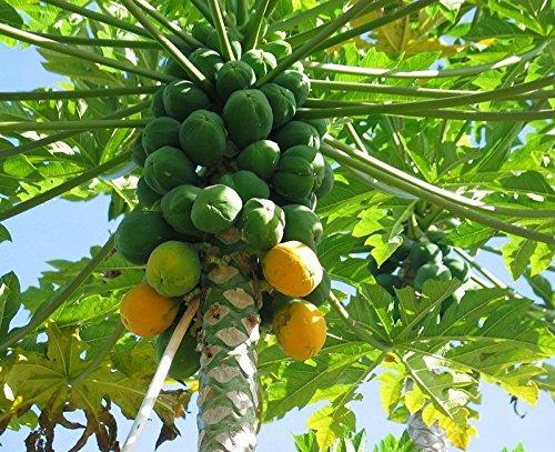 Papaya (Solo Hawaiian) Tropical Fruit Tree by bluestargarden168 (Image #1)