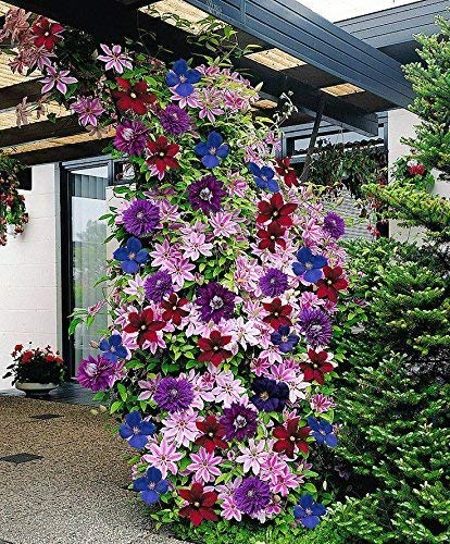 CLEMATIS ~Mixed Colors~ Wonderful large blooms 20+ Perennial Vine Seeds