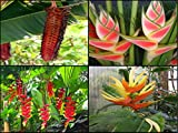 Heliconia Seeds Pack Collector Pack Aurantiaca Rostrata Mariae Wagneriana Very Rare 20 Seeds