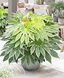 Variegated Japanese Aralia Aka Fatsia Japonica 'Spider'S Web' Live Plant Fit 1 Gallon Pot