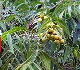 5 Seeds Soap Nut Ritha tree Rare Tropical Plant seeds RARE Sub tropical container gardening Tropical Specimen Sapindus mukorossi