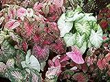 Fancy Leaf Caladium Mix - 9 Bulbs