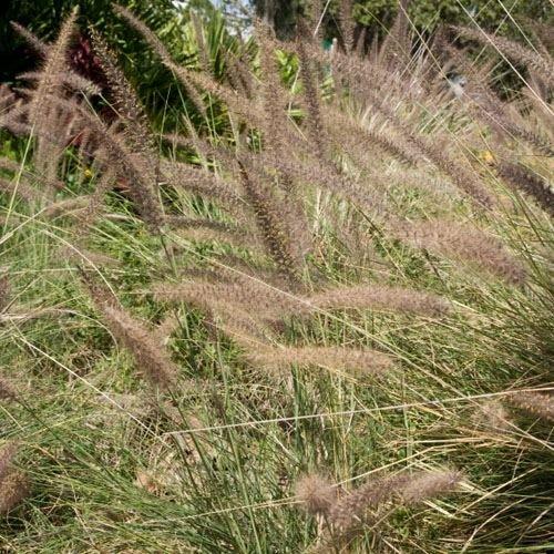 Outsidepride Fountain Grass Alopecuroides - 100 Seeds