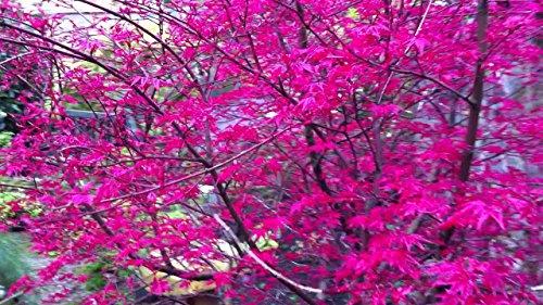 (Corallinum Japanese Maple - Acer palmatu 'Corallinum' 2 - Year Graft )