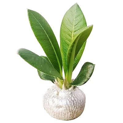 Pachypodium Brevicaule Succulent (3.5 inch) : Garden & Outdoor