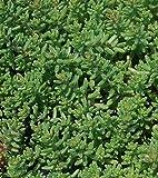 succulent ground cover Sedum Album 'Green Ice' Flowering Stone Crop - Fast Grow Spreading Ground Cover