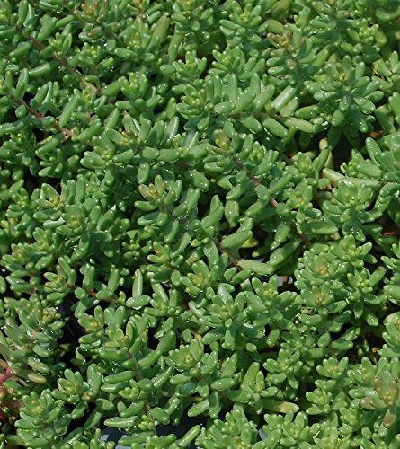 Sedum Album 'Green Ice' Flowering Stone Crop - Fast Grow Spreading Ground Cover