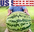 10+ ORGANICALLY GROWN XXL GIANT A.k.a. Russian Giant 100 LB Watermelon Seeds, Heirloom NON-GMO, HUGE, Extra Sweet and Fragrant, Productive, From USA