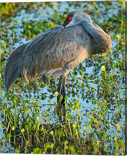 (Sandhill Crane Resting, Grus Canadensis, Florida by Maresa Pryor/Danita Delimont Canvas Art Wall Picture, Gallery Wrap, 16 x 20 inches )