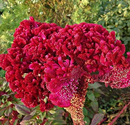 100 PCS Coxcomb Flower Seeds Celosia Extremely Beautiful Bright Fragrant Plants