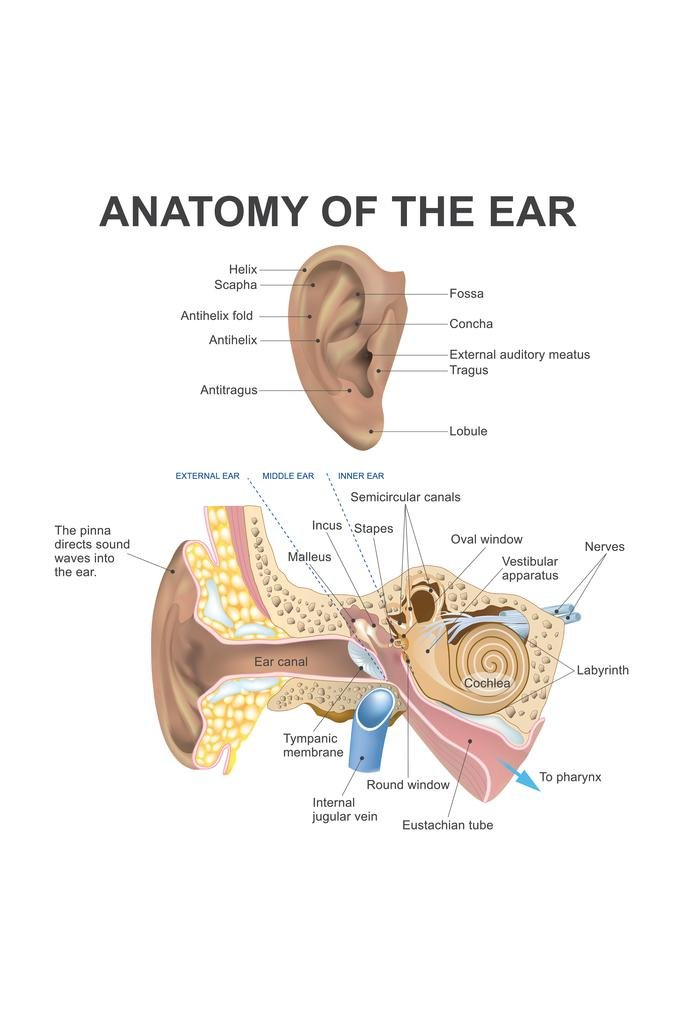 amazon com: anatomy of the human ear diagram chart poster 12x18 inch: home  & kitchen