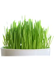 Todd's Seeds, Wheatgrass Seeds, One Pound, Cat Grass Seeds, Hard Red Wheat