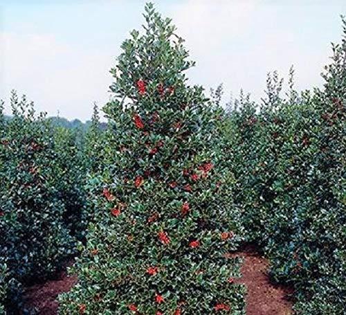 Robin Red Holly Tree - Live Plant - 3 Gallon Pot (Ilex Nellie R Stevens Evergreen Holly Shrub)