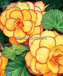 En venta !!! nueva llegada Flossy Begonia Semillas Semillas exóticos hermosa flor de Bonsai para el jardín