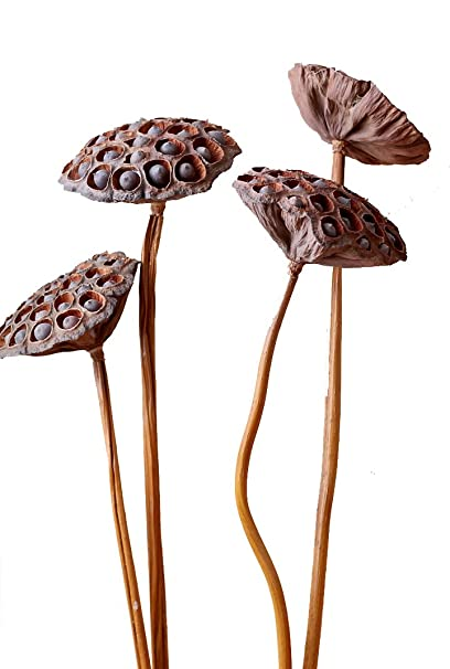 Natural Dried Flower Lotus Pods on Stems With Seed And Real Rod Dried Floral Crafts Pack