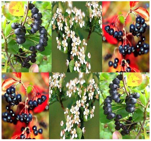 4 Packs x 20 BLACK CHOKEBERRY - Aronia melanocarpa Seeds - CRIMSON LEAVES - HIGH VITAMIN C - Zones 3 - 8 - By MySeeds.Co
