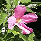 Everwilde Farms - 60 Swamp Rose Mallow Native Wildflower Seeds - Gold Vault Jumbo Seed Packet